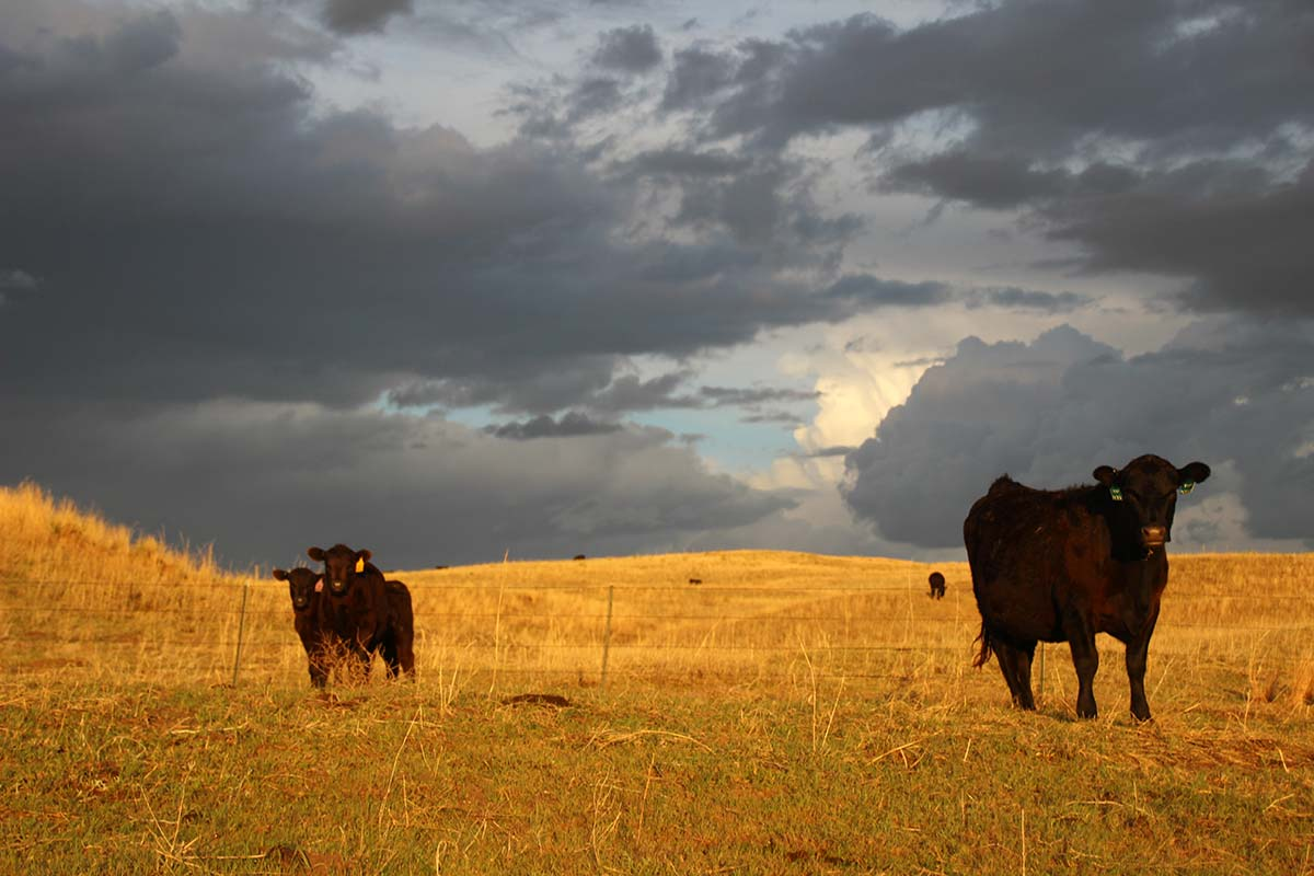 Connealy Angus cattle