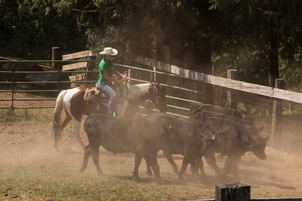 Western Pleasure Guest Ranch Cattle