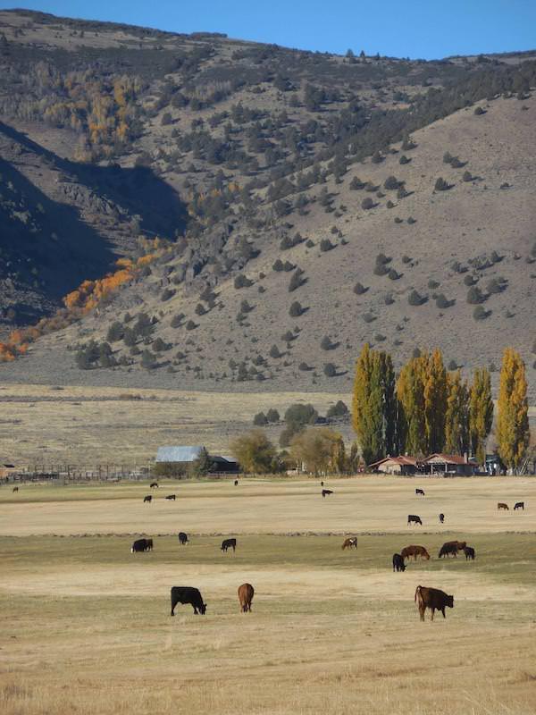 CV Livestock Nevada