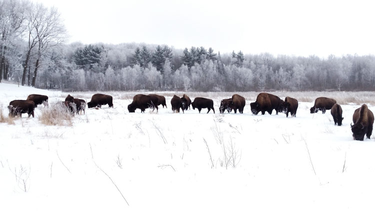 Grand View Bison Ranch