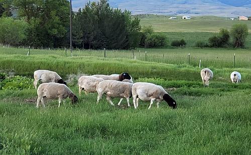 Dorper Corner ~ Lazy J Ranch Idaho
