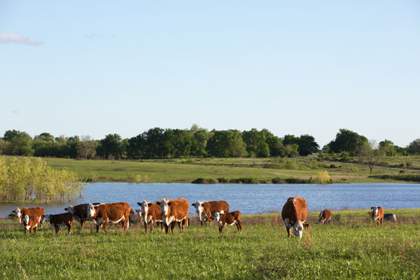 MM Ranch Polled Herefords - Kansas