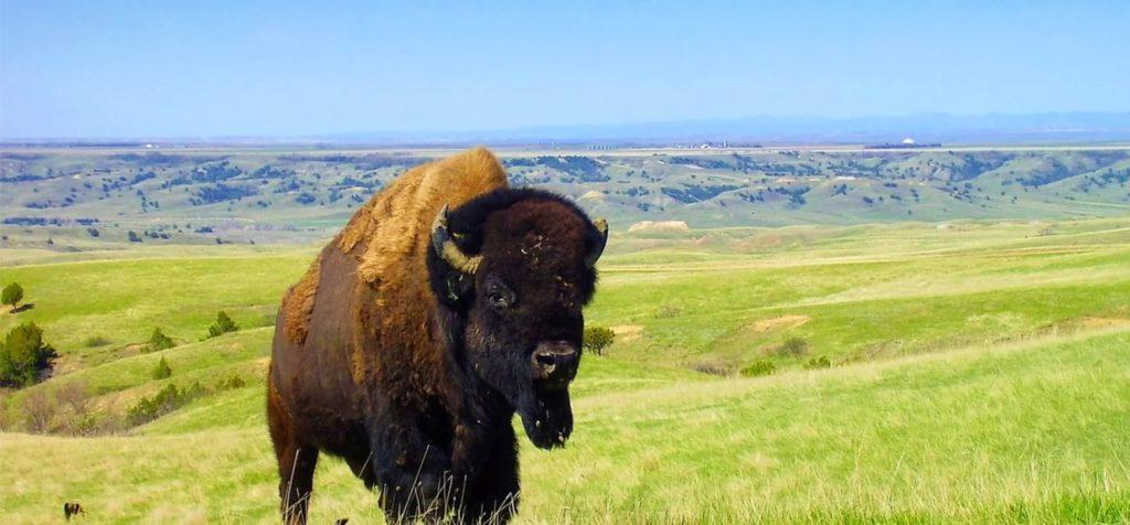 Rosebud Farm Company Buffalo SD
